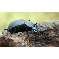 cychrus_caraboides_a_198.jpg (Artengalerie)
