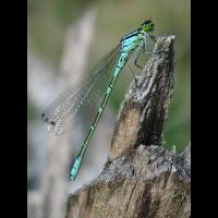 coenagrion_lunulatum_112.jpg (Artengalerie)