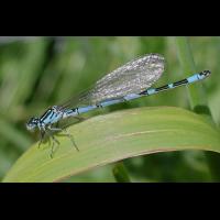 coenagrion_ornatum_02_219.jpg (Artengalerie)