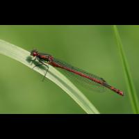 pyrrhosoma_nymphula_m_10052009a_235.jpg (Artengalerie)