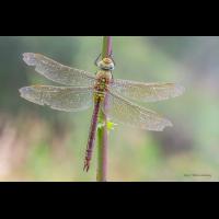 queen_150.jpg (Artengalerie)