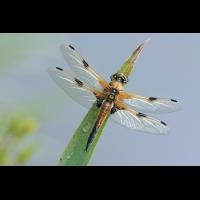 Libellula_quadrimaculata_m_frisch_IMG_1009b.jpg (Artengalerie)