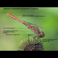 Sympetrum_vulgatum_Bestimmungsmerkmale.jpg (Artengalerie)