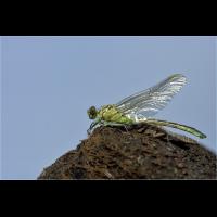 img_6001_G_flavipes-fr_-M.jpg (Artengalerie)