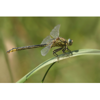Gomphus_pulchellus_single_24062010_IMG_0745x.jpg (Artengalerie)