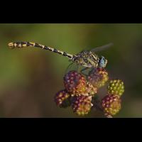 onychogomphus_uncatus_05_163.jpg (Artengalerie)