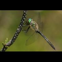 somatochlora_alpestris__alpensmaragdlibelle__maennchen_106.jpg (Artengalerie)