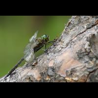 m_f_somatochlora_flavomaculata_131.jpg (Artengalerie)