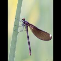 p5280481_calopteryx_maculata_klein_184.jpg (Artengalerie)