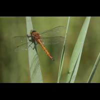 Aeshna_isoceles_m_IMG_5102.jpg (Artengalerie)