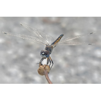 ts_selysiothemis_nigra_01_153.jpg (Artengalerie)