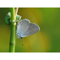 cupidominimusmf3799_157.jpg (Artengalerie)