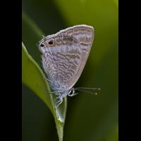 wanderblaeuling_klein_415.jpg (Artengalerie)