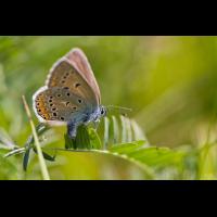 polyommatus_amandus_w_167.jpg (Artengalerie)