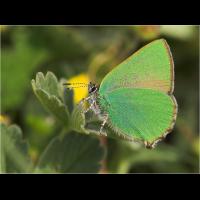 callophrys_rubi__brombeerzipfelfalter_167.jpg (Artengalerie)