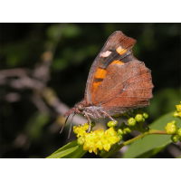 libythea_celtis_1_448.jpg (Artengalerie)