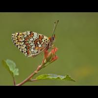 melitaea_phoebe__flockenblumenscheckenfalter_203.jpg (Artengalerie)