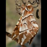 endromis_versicolora__birkenspinner_142.jpg (Artengalerie)