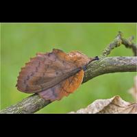 comp_gastropacha_quercifolia_4_561.jpg (Artengalerie)