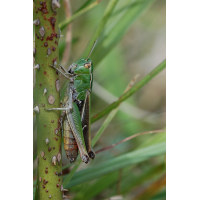 Stenobothrus_lineatus_-_Heidegrashuepfer_-_Weibchen01.jpg (Artengalerie)