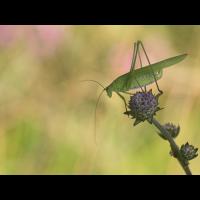 phaneroptera_falcata__gemeine_sichelschrecke__weibchen_130.jpg (Artengalerie)