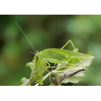 phaneroptera_nana_weibchen_370.jpg (Artengalerie)