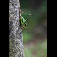 eupholidoptera_img_4382h_229.jpg (Artengalerie)