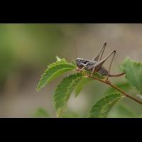 pholidoptera_fallax_1_143.jpg (Artengalerie)