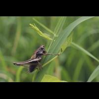 pholidoptera_griseoaptera_789.jpg (Artengalerie)