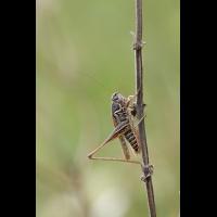 platycleis_montana_m_1_190.jpg (Artengalerie)