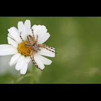 aculepeira_ceropegia__eichblatt_radspinne__weibchen_735.jpg (Artengalerie)