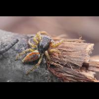 Marpissa-pomatia-m-7205web.jpg (Artengalerie)