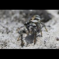 salticus_scenicus__zebraspringspinne__maennchen_175.jpg (Artengalerie)