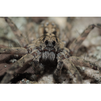 Acanthalycosa_norvegica_Lycosidae_Spinnen_Platte_002.jpg (Artengalerie)