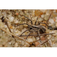 Alopecosa_cursor_Lycosidae_Spinnen__001.jpg (Artengalerie)