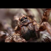 Alopecosa_fabrilis_Lycosidae_Spinnen_03.jpg (Artengalerie)