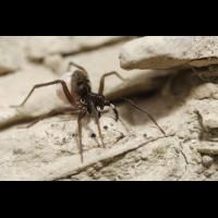Aulonia_albimana_Lycosidae_Spinnen_1.jpg (Artengalerie)