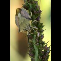 Carpocoris_fuscispinus_07.JPG (Artengalerie)