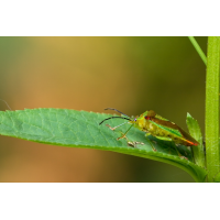 acanthosoma_haemorrhoidale_wipfel_stachelwanze3_137.jpg (Artengalerie)