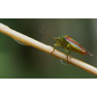 Elasmostethus_interstinctus2.jpg (Artengalerie)