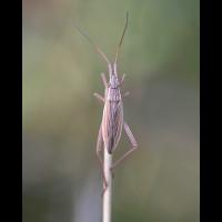 notostira_elongata1.jpg (Artengalerie)