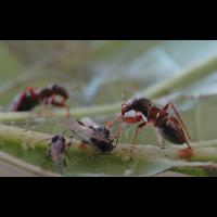 pilophorus_perplexus3.jpg (Artengalerie)
