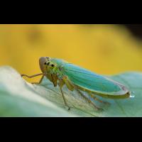 cicadella_viridis_5__164.jpg (Artengalerie)