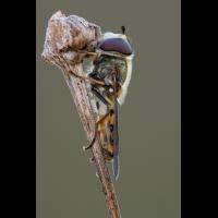 schwebfliege_metasyrphus_spec2_117.jpg (Artengalerie)