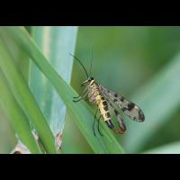 compscorpionfliege_maennlich_1_128.jpg (Artengalerie)