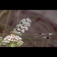 Nemoptera_sinuata_Nestos_01.jpg (Artengalerie)