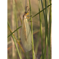 myrmecaelurus_trigrammus_333.jpg (Artengalerie)