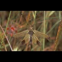 Libelloides_ictericus_-_Mallorca_02.jpg (Artengalerie)