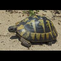 Griechische_Landschildkröte.jpg (Artengalerie)