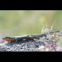peloponnes_mauereidechse_p_117.jpg (Artengalerie)